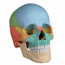 Erler-Zimmer czaszka...