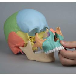 Czaszka osteopatyczna,22 części