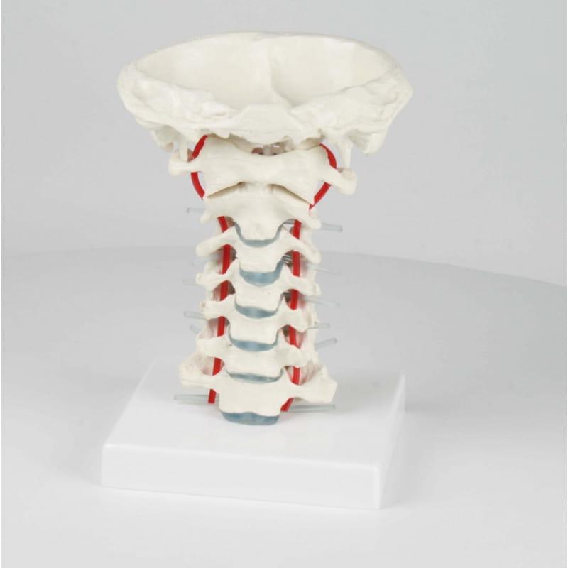 Erler-Zimmer model szyjnego odcinka kręgosłupa
