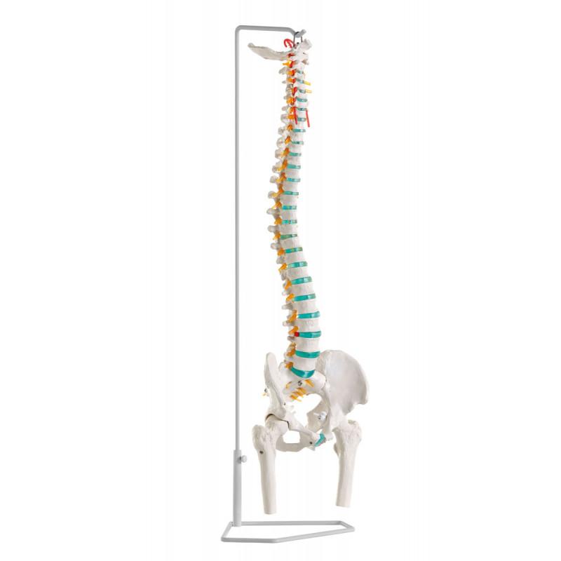 Erler-Zimmer model kręgosłupa z kośćmi udowymi i dyskopatią L3/L4, elastyczny