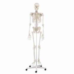 Dydaktyczny szkielet...
