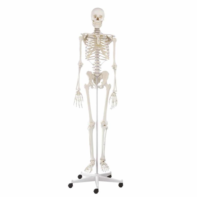 """Dydaktyczny szkielet człowieka z ruchomym (elastycznym) kręgosłupem """"Hugo"""""""