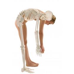 Dydaktyczny szkielet człowieka z ruchomym (elastycznym) kręgosłupem