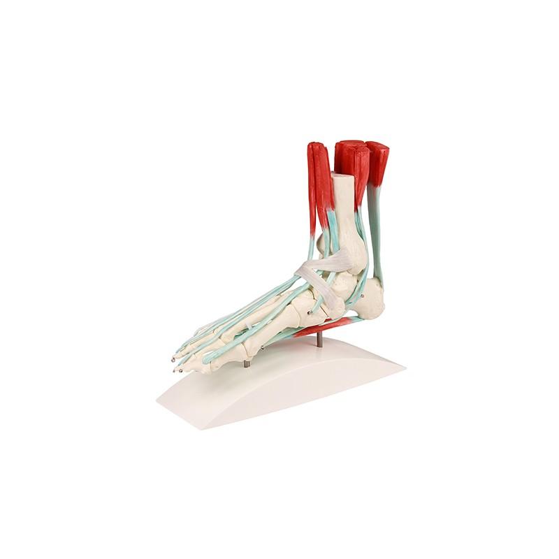 Szkielet stopy z aparatem ścięgien