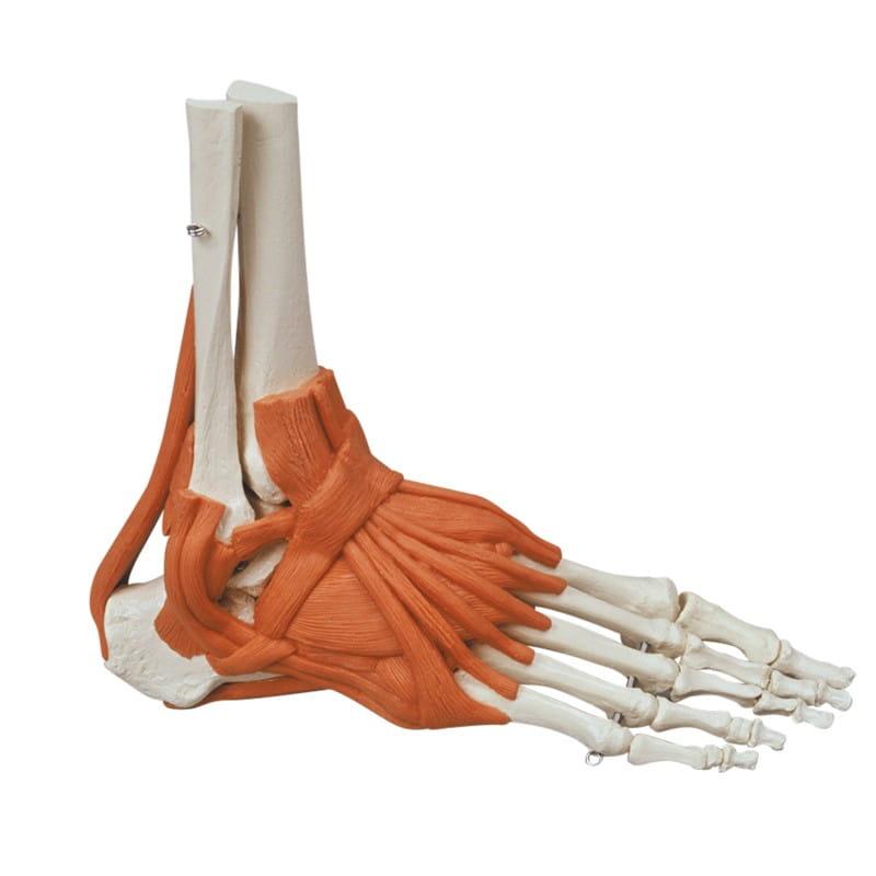 Model szkieletu stopy z więzadłami