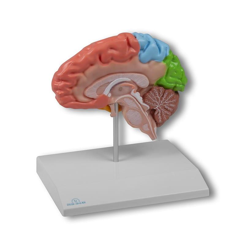 Erler-Zimmer model przekroju mózgu