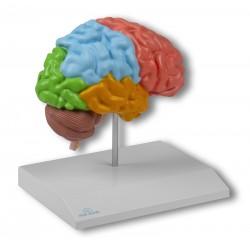 Model przekroju mózgu