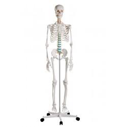 Erler-Zimmer szkielet...