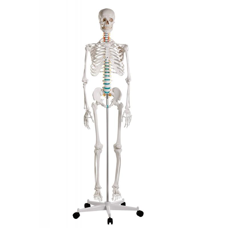 "Erler-Zimmer szkielet dydaktyczny ""Oscar"""