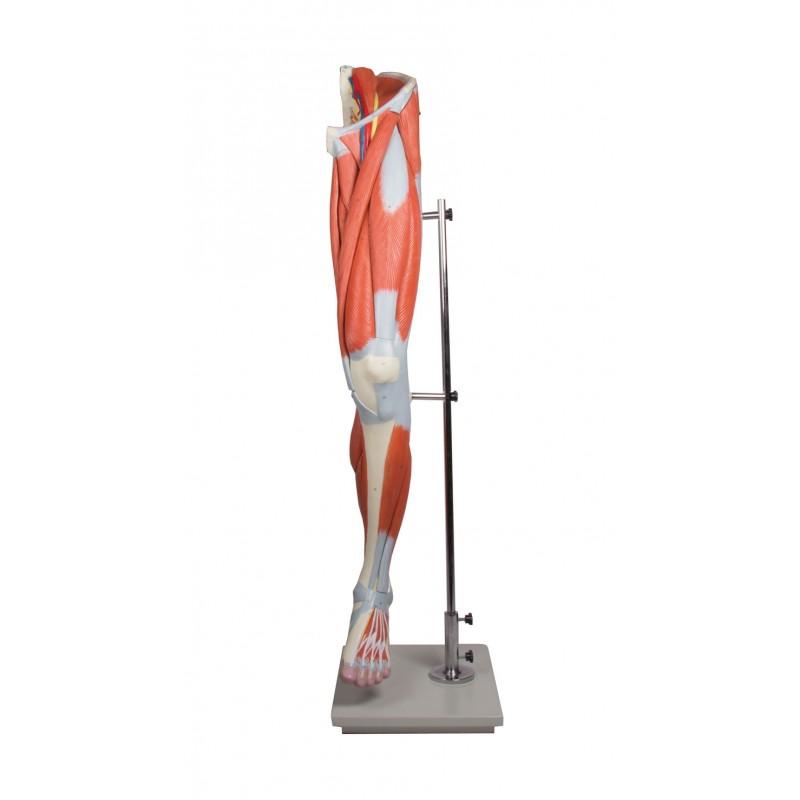 Erler-Zimmer model anatomiczny mięśni kończyny dolnej