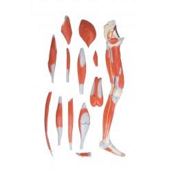 Model anatomiczny mięśni kończyny dolnej