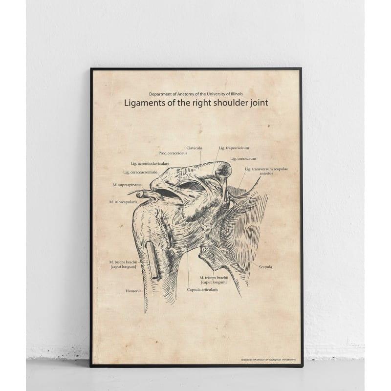 """Plakat anatomiczny """"Więzadła prawego stawu barkowego"""""""