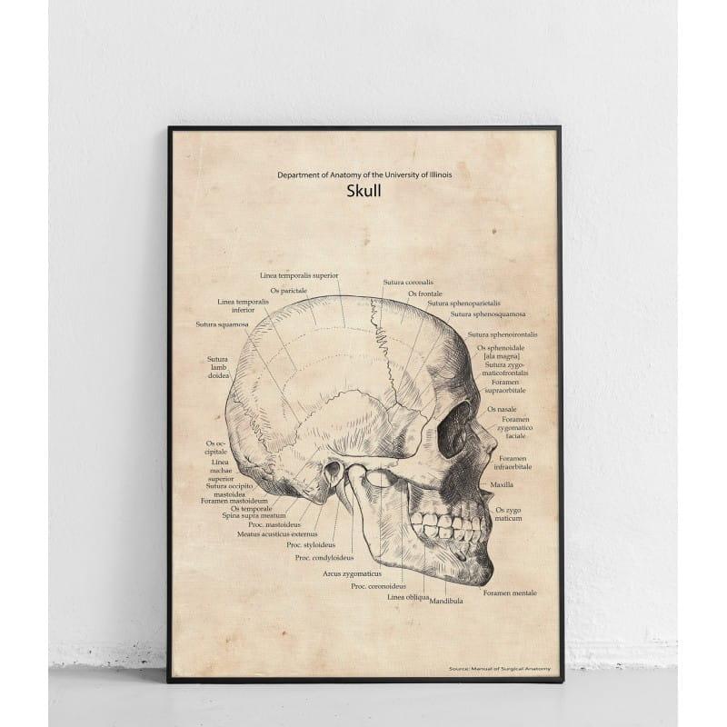 """Plakat anatomiczny """"Czaszka widok boczny"""""""