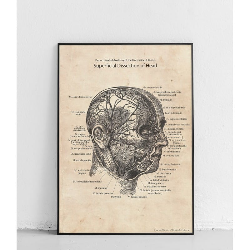 """Plakat anatomiczny """"Powierzchowna dysekcja głowy"""""""