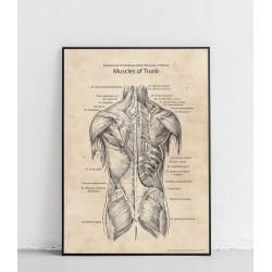 """Plakat anatomiczny """"Mięśnie..."""