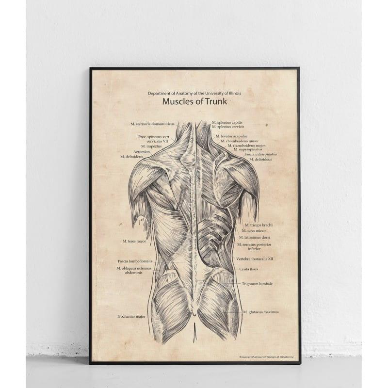 """Plakat anatomiczny """"Mięśnie tułowia tylna struktura"""""""