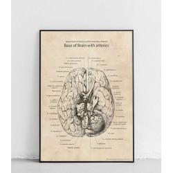 """Plakat anatomiczny """"..."""