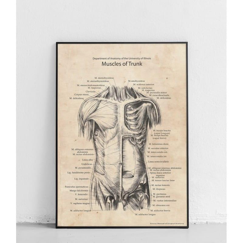 """Plakat anatomiczny """"Mięśnie tułowia przednia struktura"""""""