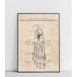 "Plakat anatomiczny ""Stopa..."