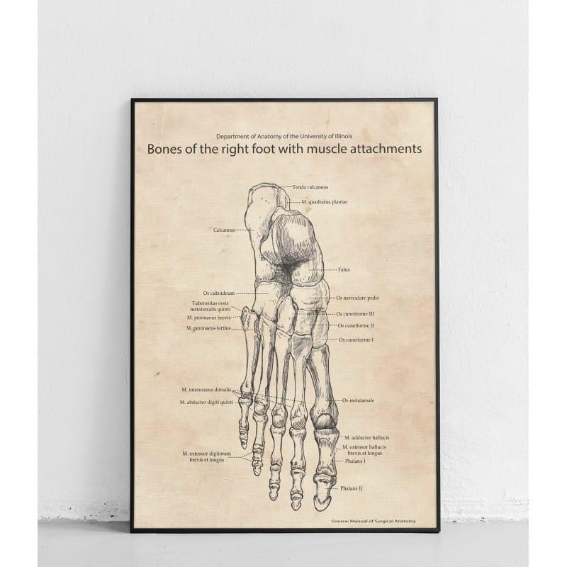 """Plakat anatomiczny """"Stopa układ kostny i mięśniowy"""""""