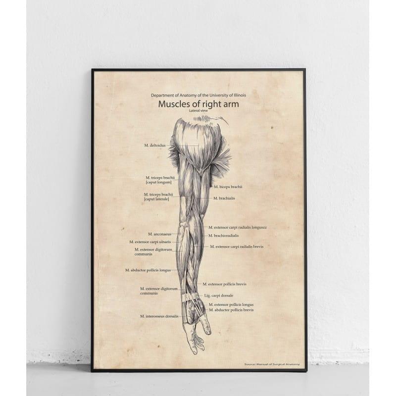 """Plakat anatomiczny """"Mięśnie prawego ramienia – widok boczny"""""""