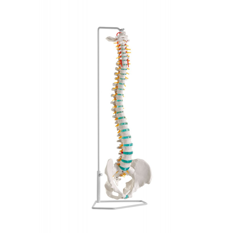 Erler-Zimmer Model kręgosłupa z dyskopatią L3/L4, elastyczny